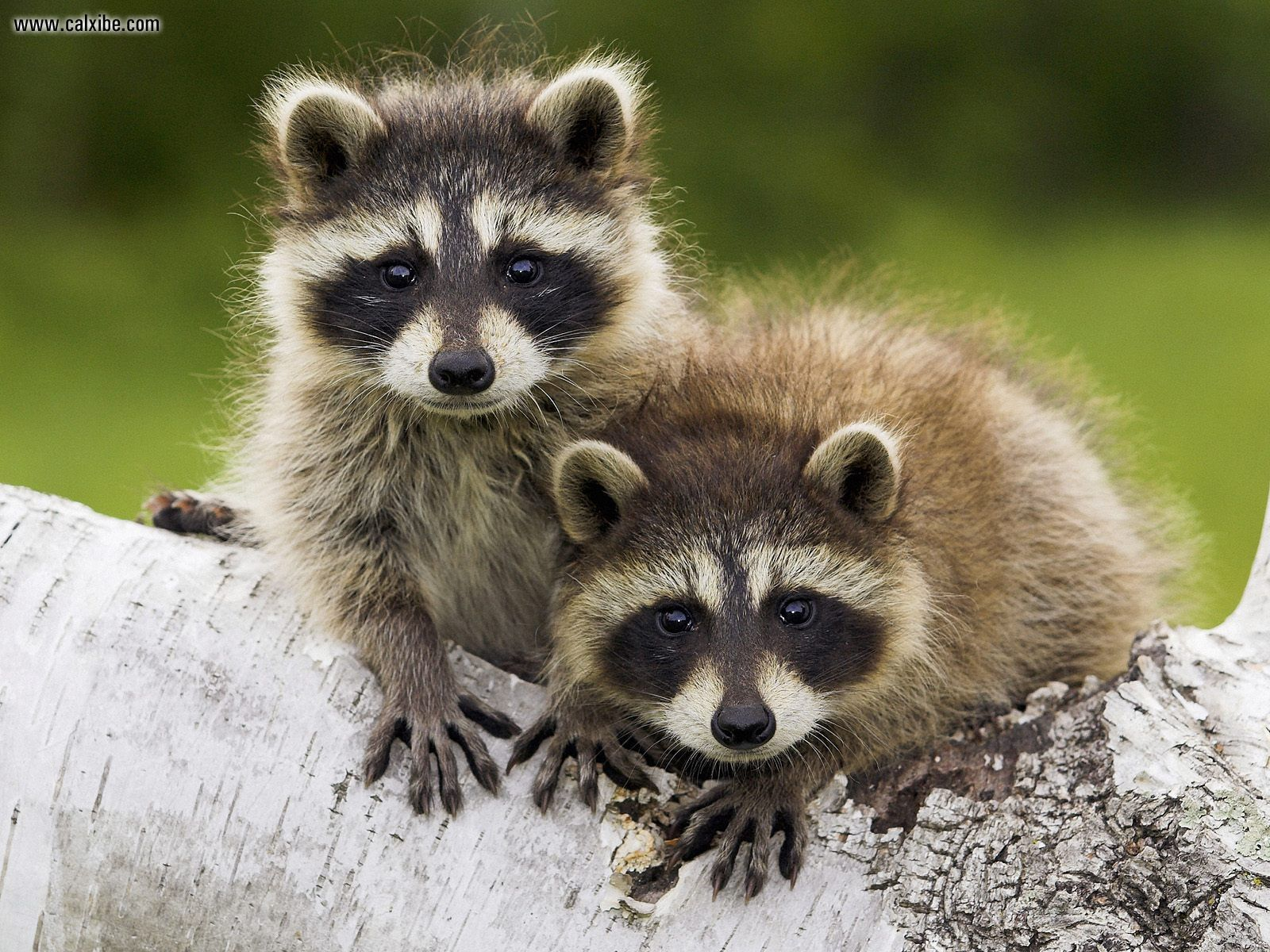 Day_3_of_11__File_50_of_50__Young_Raccoons_Minnesota.jpg